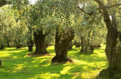 Italia senza olive, freddo e mosche rendono il Natale eco-chic